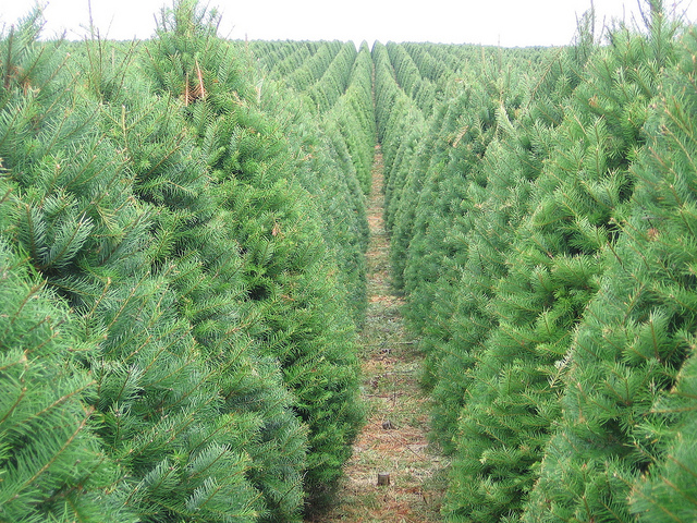 Your Christmas Tree S Carbon Footprint Sightline Institute